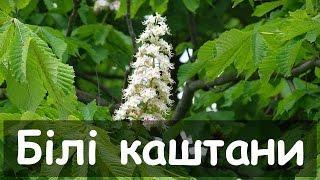 Народные украинские песни. Білі каштани